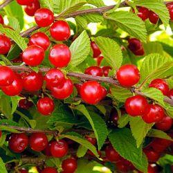 ВИШНЯ препараты купить, цена, полезные свойства вишни
