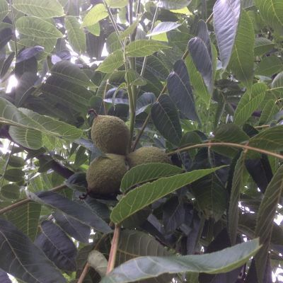 Лист чорного горіха