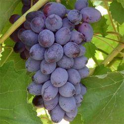 Виноград препараты купить, цена, полезные свойства, применение